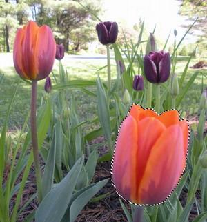 Gimp - exemple de sélection d'une fleur