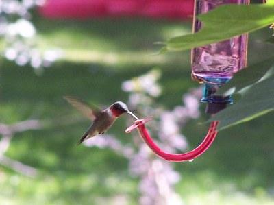 Accéder à « Recette de nectar pour attirer les colibris »